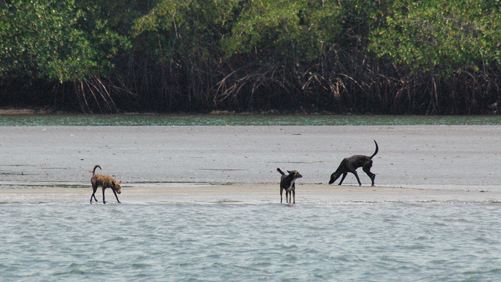 Dogs playing on the sand bar - a good indication there are no crocs around