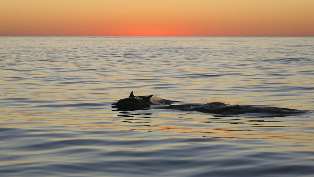 Dolphins at sunset on a very calm sea