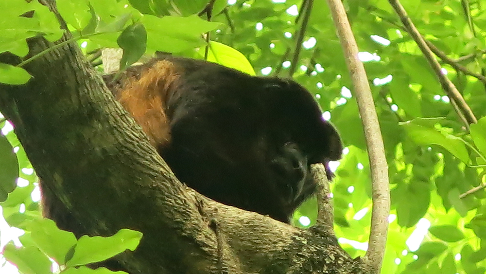 A large male howler monkey probably considering whether to take a shot at us