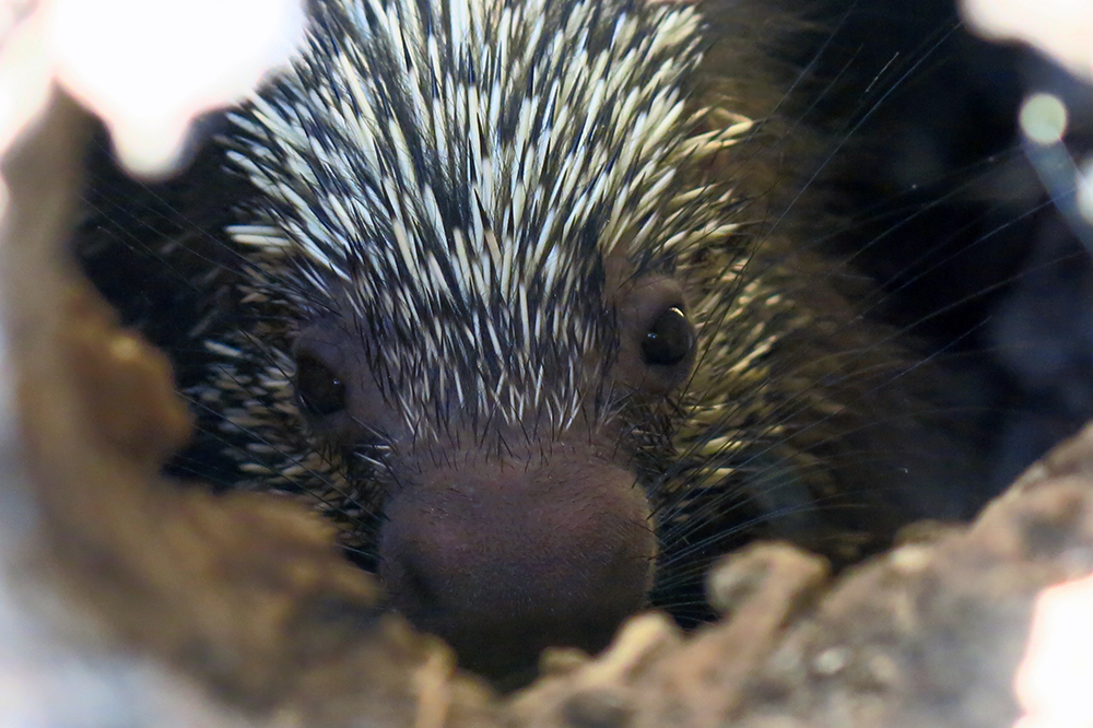 A porcupine hiding in a hole in a tree