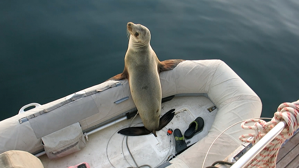 This sealion climbed into our dinghy and was reluctant to leave