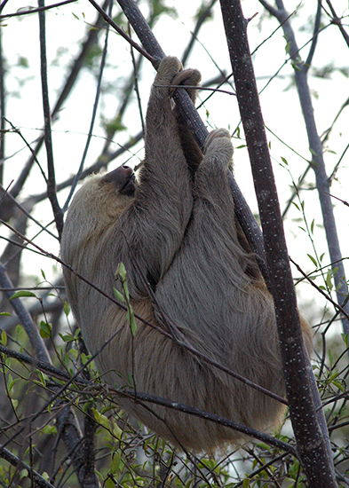 Another sloth photo