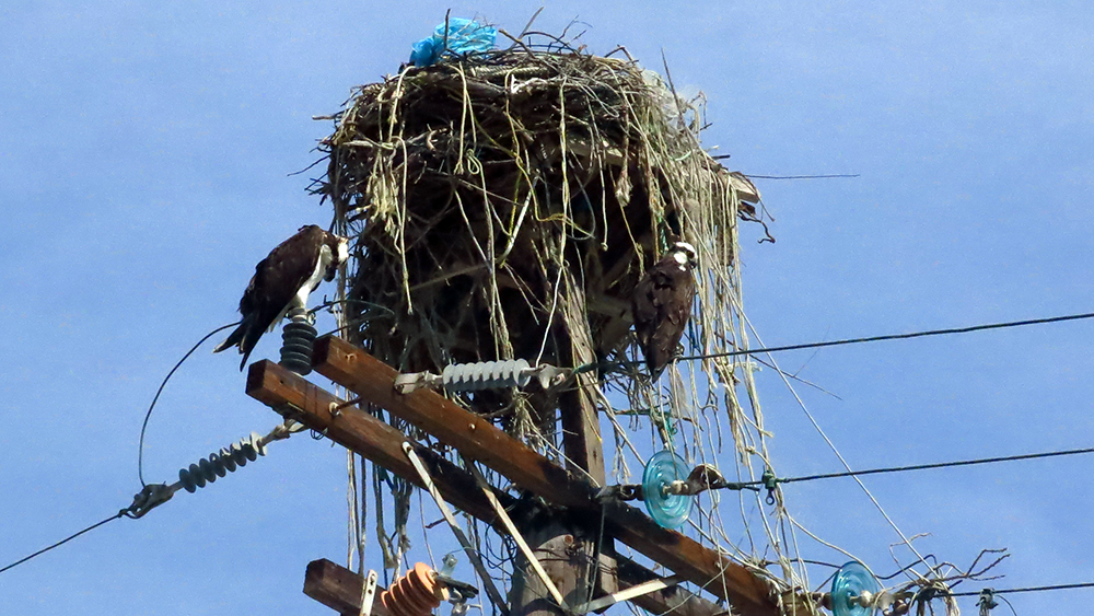 A pair of ospreys nesting at Puerto Magdalena